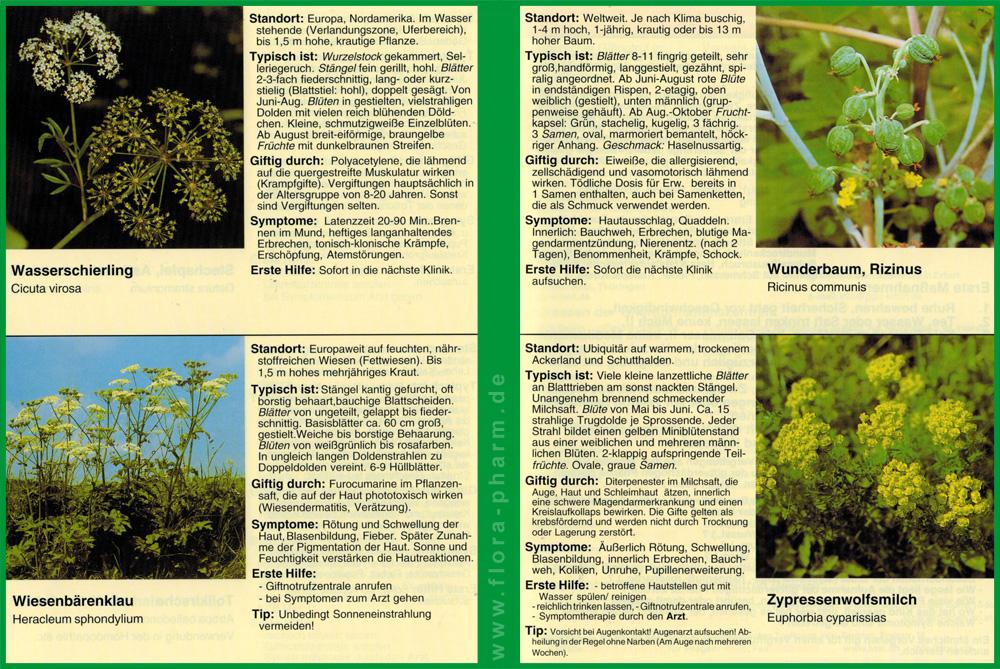 früchte kirschlorbeer essbar