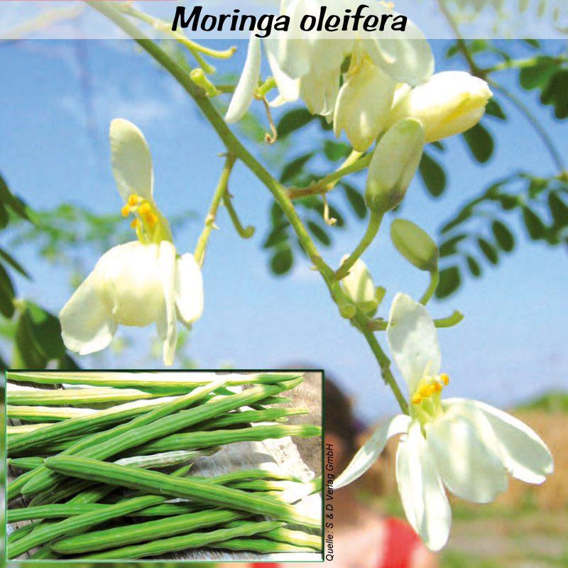 Moringa oleifera v2