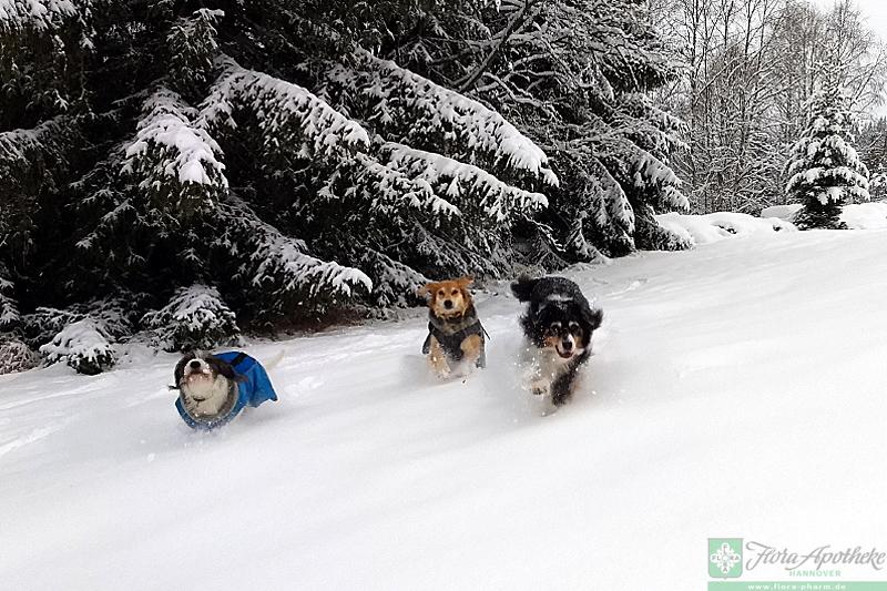hunde fressen schnee