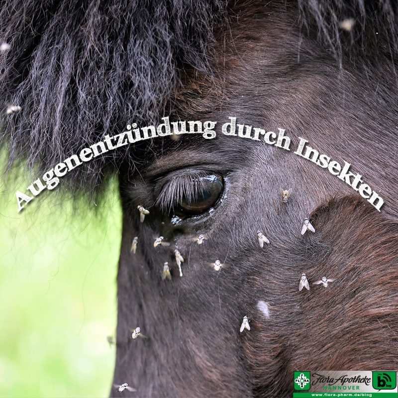 Pferd - Augenentzündung durch Insekten