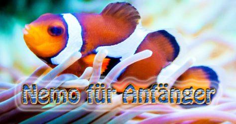 Aquarium Clownfisch