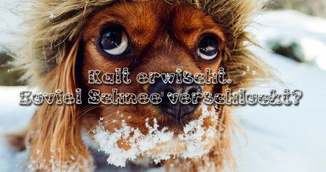 Zu viel Schnee verschluckt - Hundemagen
