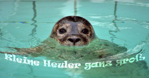 Heuler - kleine Seehunde