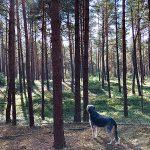 Hund Waldbaden Kiefer