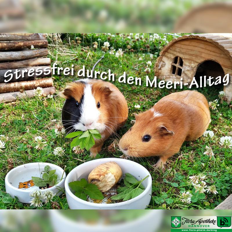 Stressfreie Meerschweinchen
