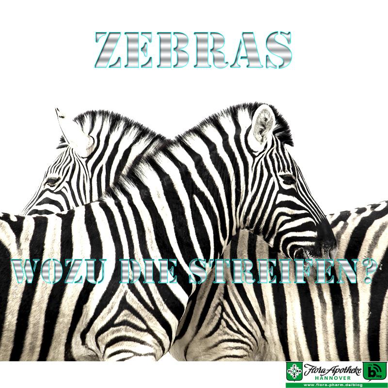 Zebra - Zebrastreifen