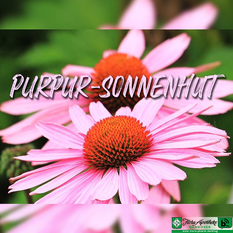 Purpur Sonnenhut Echinacea
